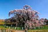 【三春の滝桜】 紅枝垂桜(ベニシダレザクラ)で、大正11年10月12日、根尾谷の淡墨ザクラ・山高神代ザクラなどとともに国の天然記念物の指定を受けた名木です。