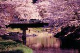 【石川町あさひ公園前の桜並木】